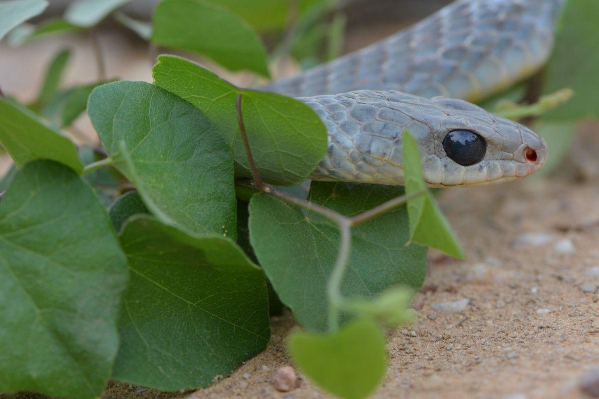 Loutres geantes d'Amerique ( et reptiles ) PANTANAL