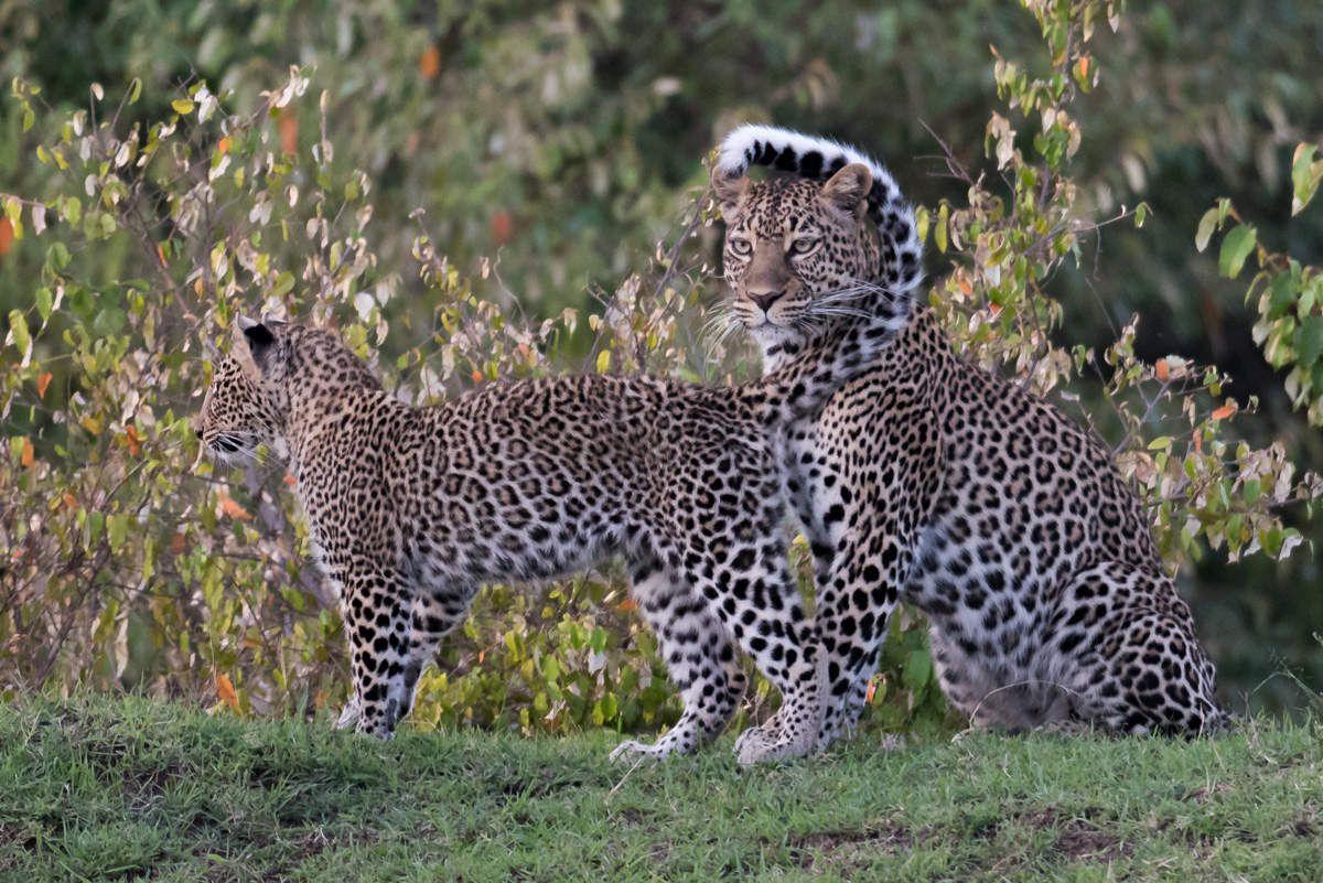 Leopards, Kenya, Masai Mara