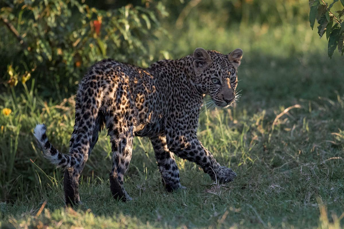 Leopards - Kenya