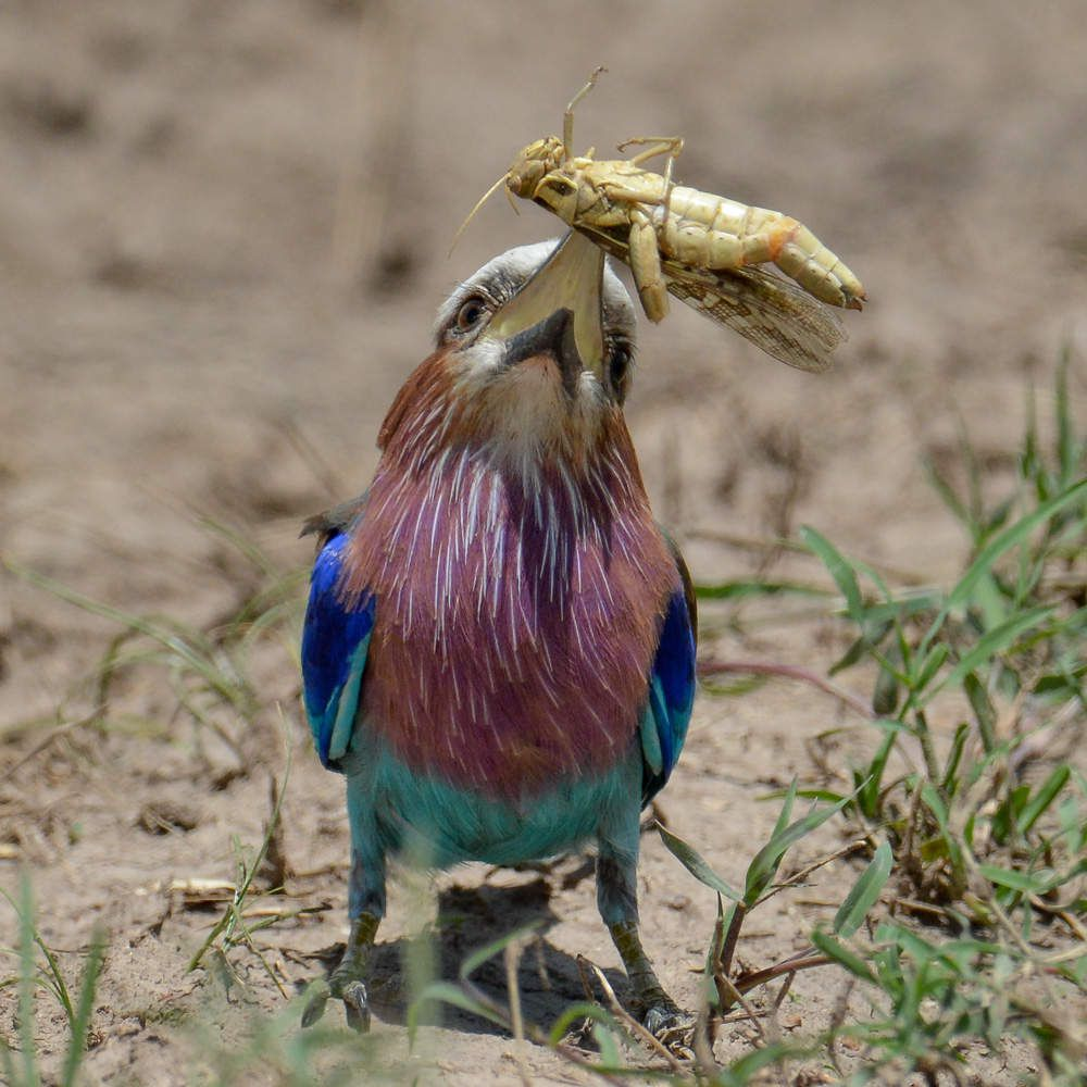 chasse-Kenya