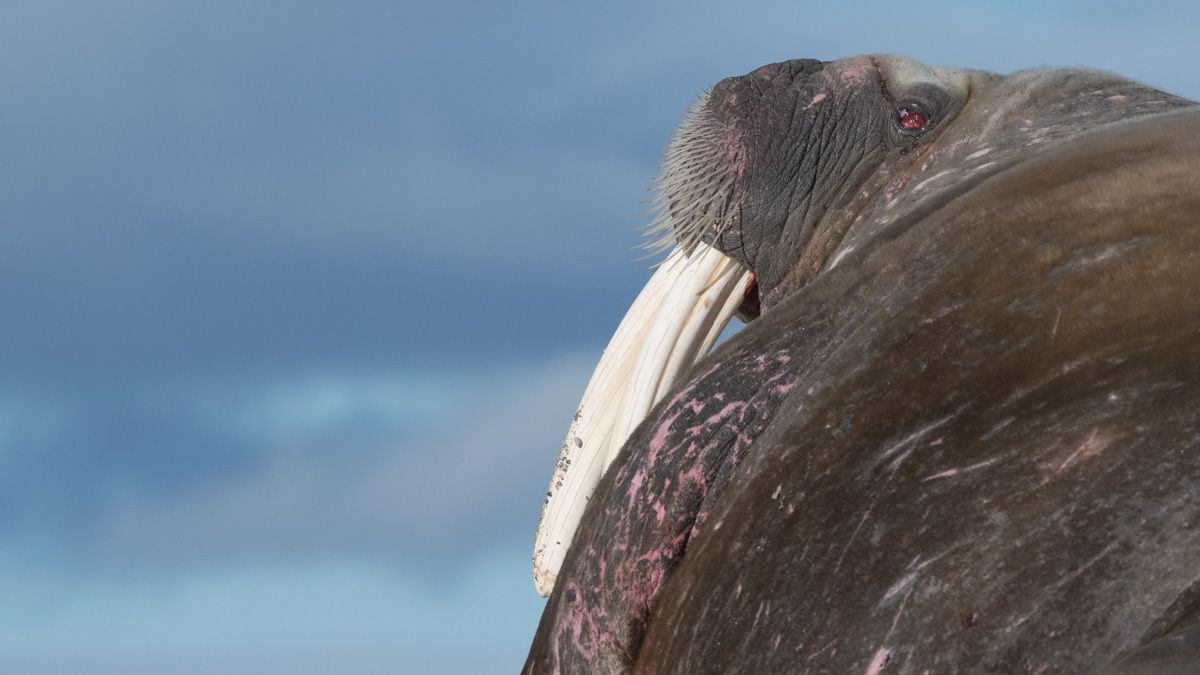 Morses, baleines, sternes arctiques du svalbard