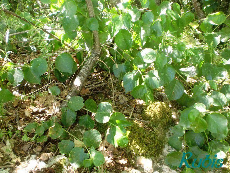 Dolmen de Pincanelle ou de Roc de Cause, Sainte Sabine Born
