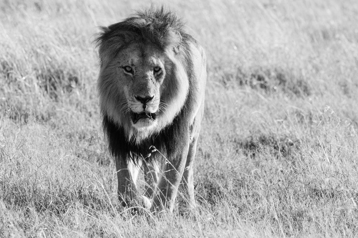 le dernier Lion porte le nom de Lipstick, en raison de ses lèvres