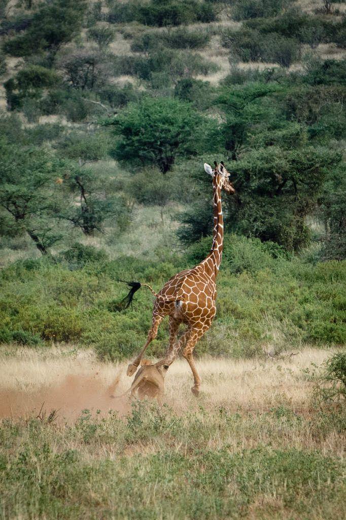 La girafe court vite et se met hors de portée... Aucune chance pour ces lionnes, pas assez nombreuses.