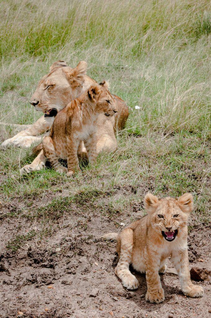Kenya - 2.lionnes, lionceaux