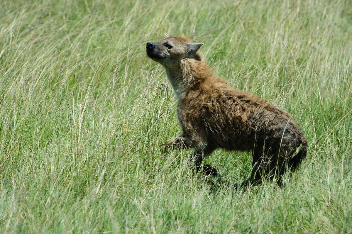 Kenya, 8.Hyènes, Phacochères. Autres animaux
