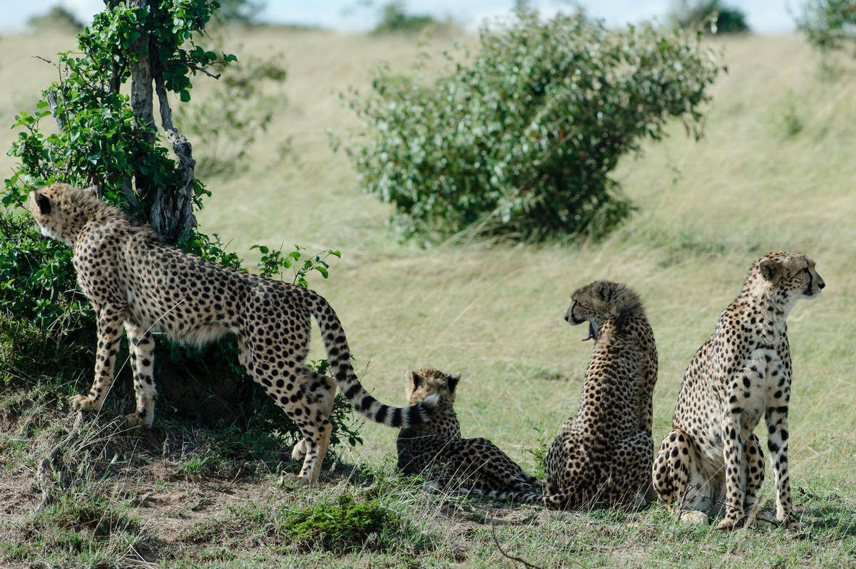 Kenya, 7.Guépards