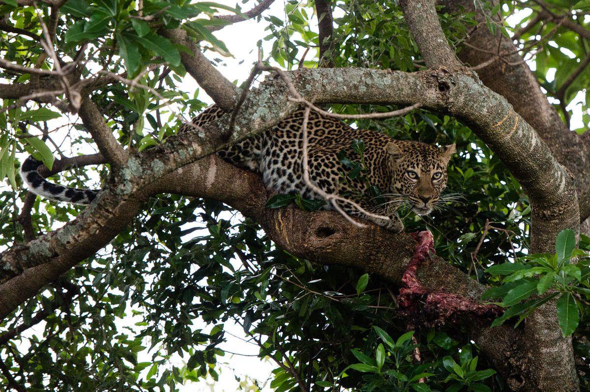 Kenya, 3.léopards 7 jours