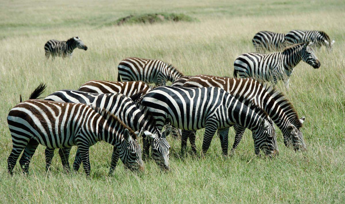Kenya, 12.Zèbres
