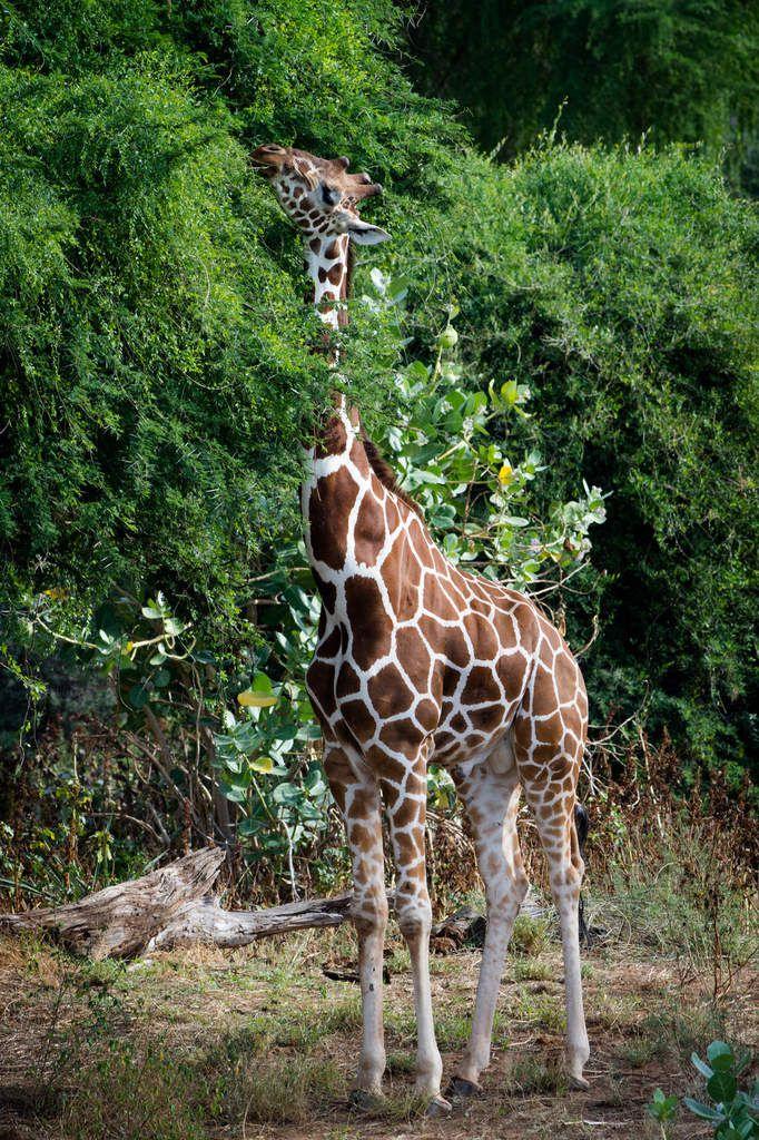 Kenya, 11.Girafes