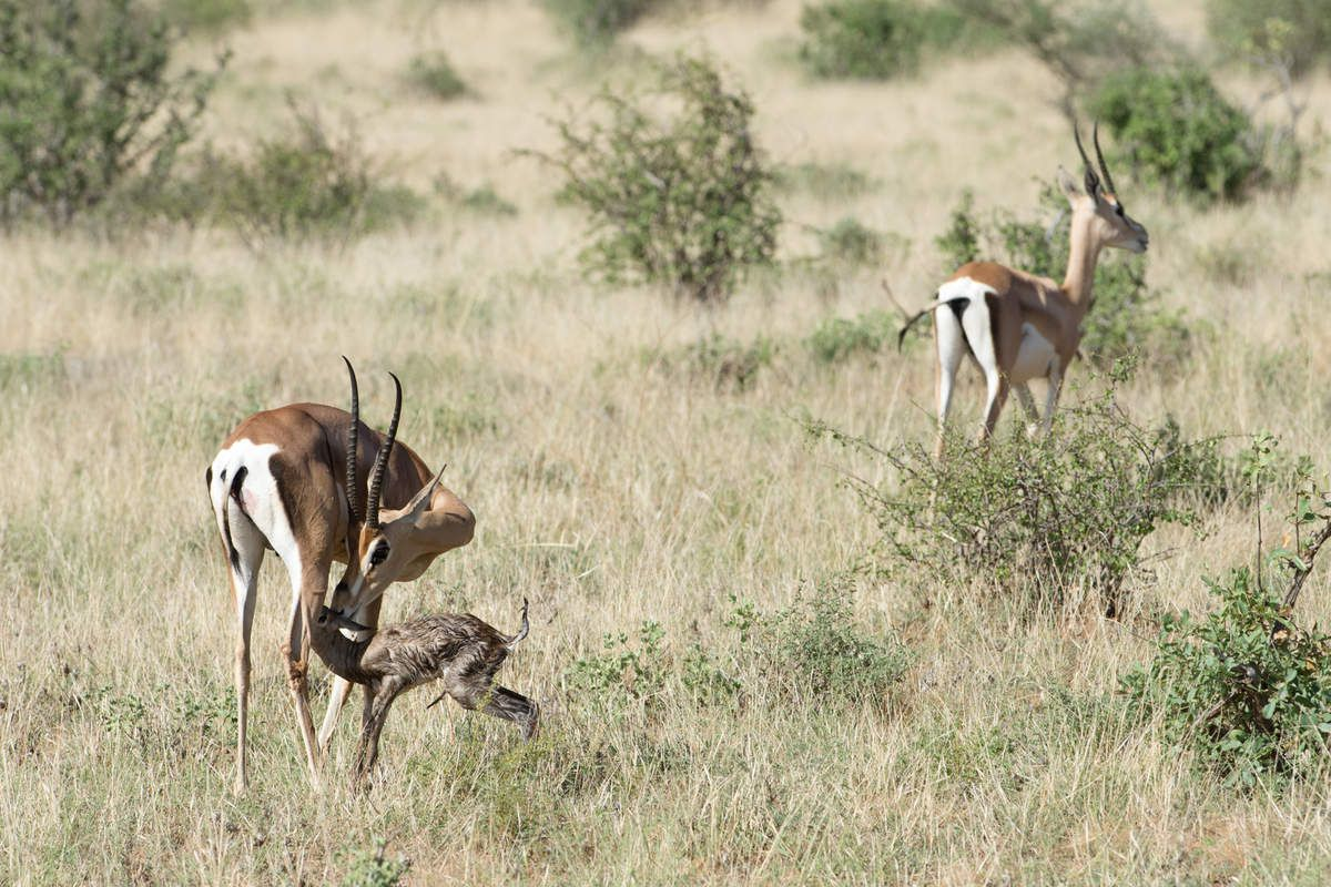 Kenya 13.Antilope 11 items
