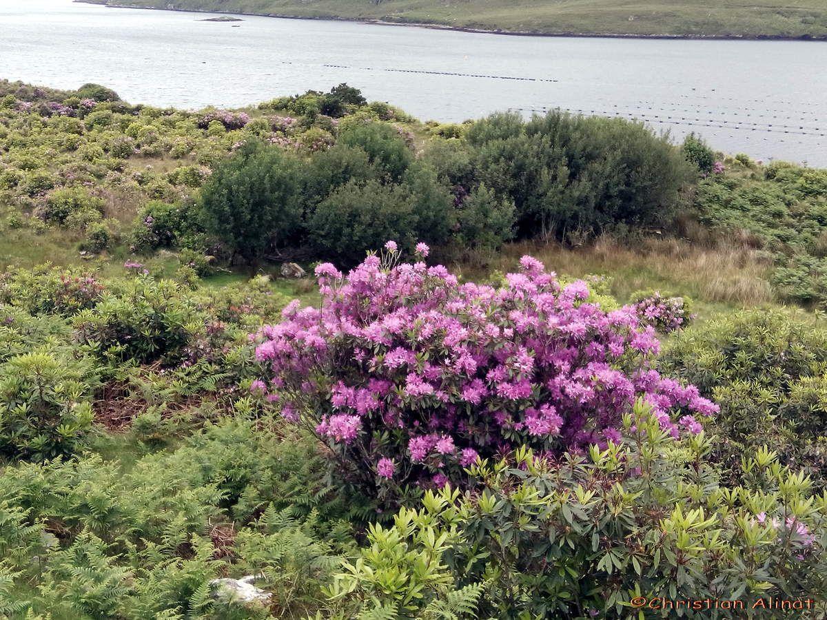 Rhododindrons prés d'un lac du Connemara