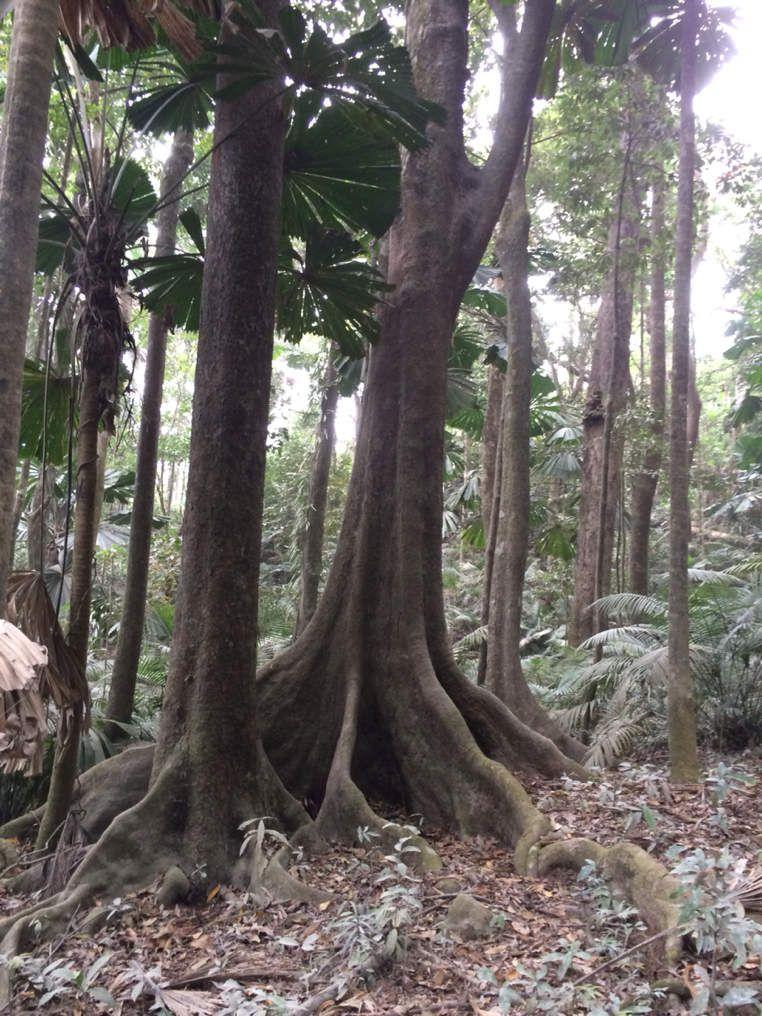 Rainforest... Daintree national park
