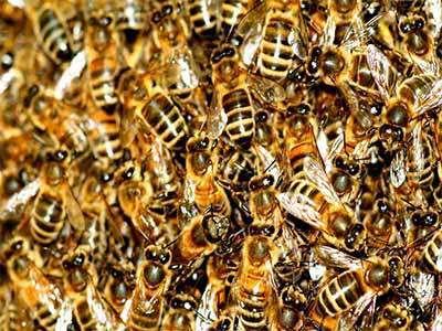 Le chant des reines d'abeilles !