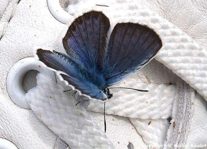 Argus bleu- azuré de Bugrane