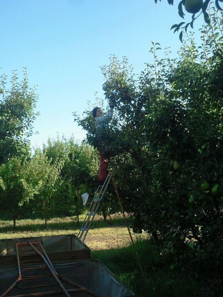 Shepparton et le pear picking