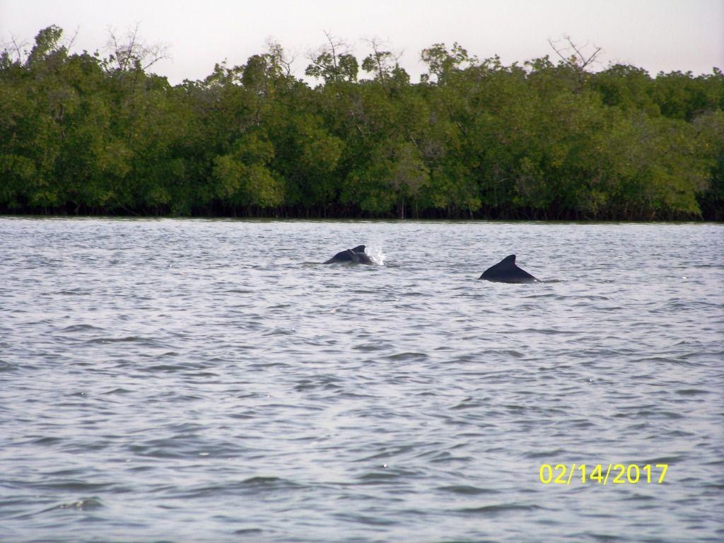 La liste des animaux à y découvir est longue, mais ils ne sont pas toujours faciles à prendre en photo. Nous y verrons des martins pêcheurs, des courlis, des cormorans, des aigles pêcheurs des hérons Goliath (le plus gros d'Afrique) des aigrettes noires, des pélicans et même des dauphins. Au bout de 3 heures j'ai même apperçu le dos d'un Lamentin ce mamifère en voie de disparition dont il subsiste 2 exemplaires ici. J'en suis très fière !!!