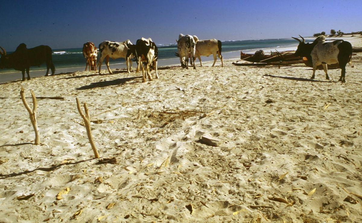 Zébus sur la plage dans le sud de Madagascar