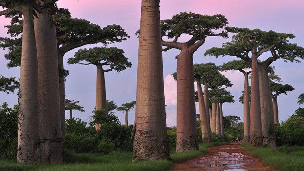 Les baobabs font partie des arbres emblématiques de l'île Rouge.