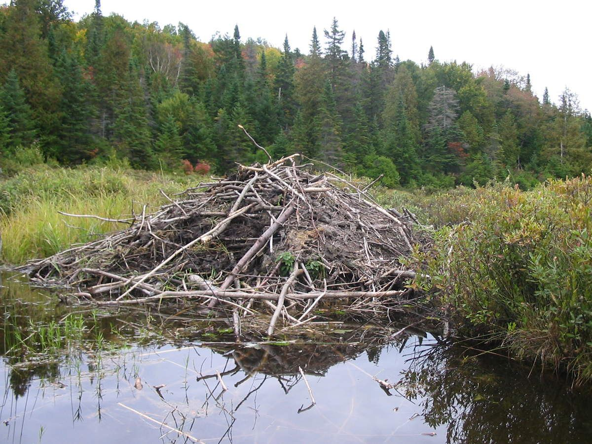 beaver dams dating site Research into impact of beavers' dams  the dams beaver build can block the movements of trout,  site map exchange and mart dating.