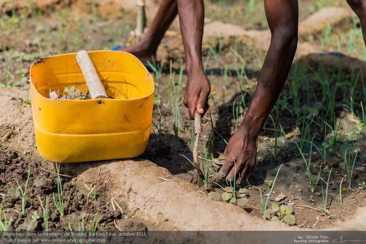 Photo : déserbage de la plantation à la binette.