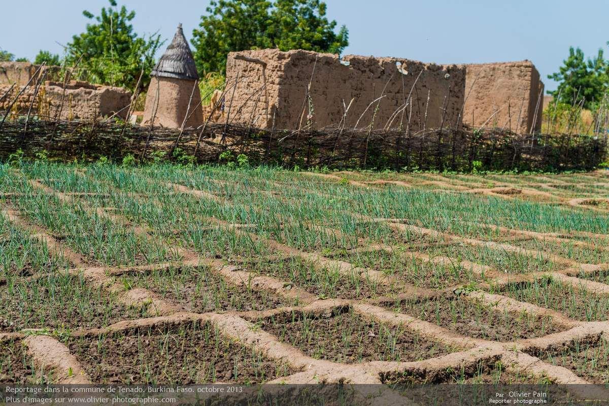 Photo : Culture de poireaux dans la commune de Tenado. L'eau vient d'un puit situé au centre des cultures.