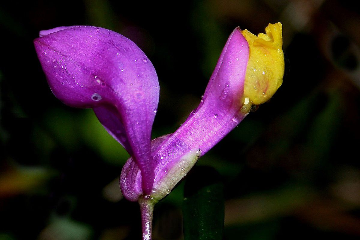 Le Polygala Veyradae (photo internet)