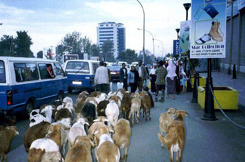 Des troupeaux de chèvres parcourent les rues tandis que se suivent ces taxis bleus et blancs, hérités de la période soviétique si j'ai bien tout suivi.