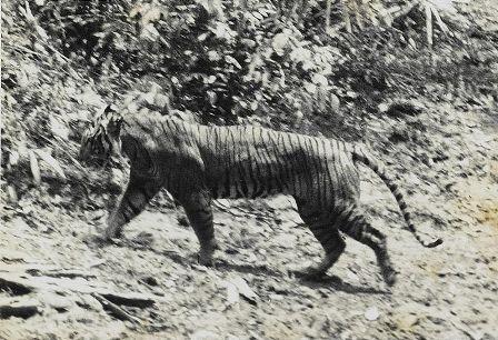 Tigre de Java, disparu en 1994