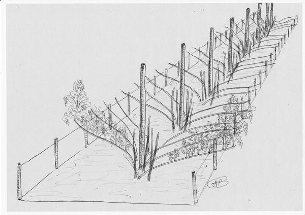 La taille du framboisier le jardin potager bio - Ou planter un framboisier ...