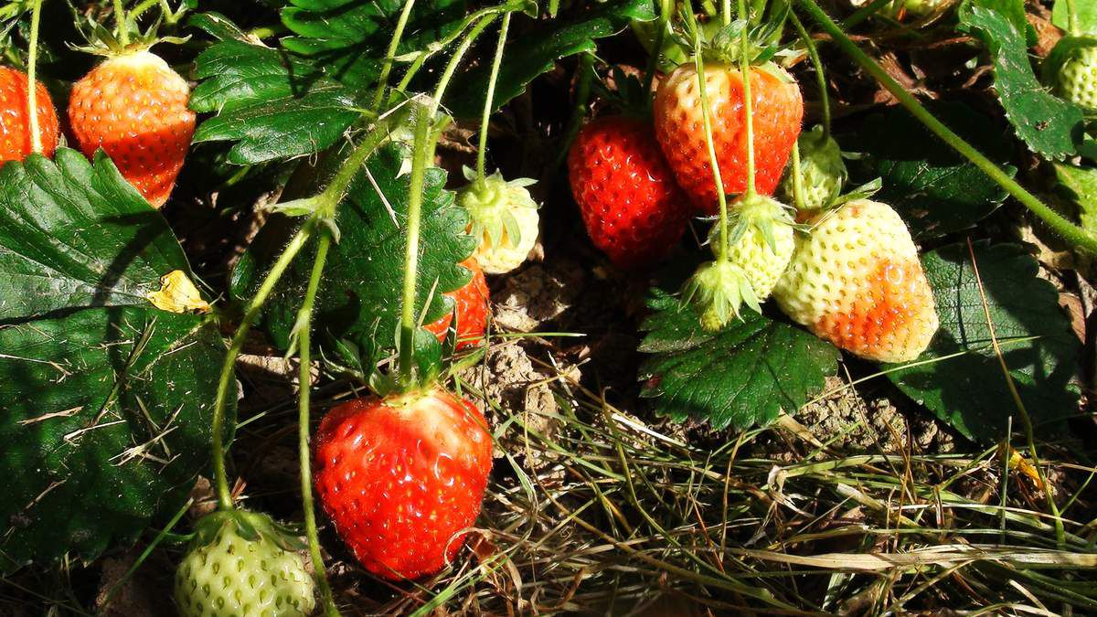 La pyramide aux fraises au jardin potager bio