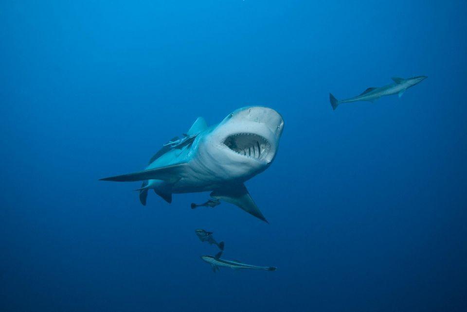 Le requin-bouledogue, présent sur les côtes réunionnaises, est l'une des cinq espèces qui peuvent être dangereuses pour l'homme. Photo Gérard Soury. Biosphoto