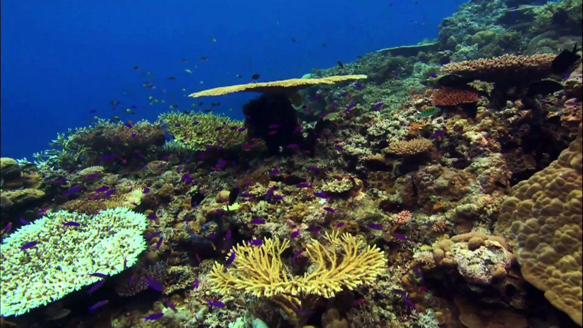 « La Minute GoodPlanet » du programme océan : le Corail