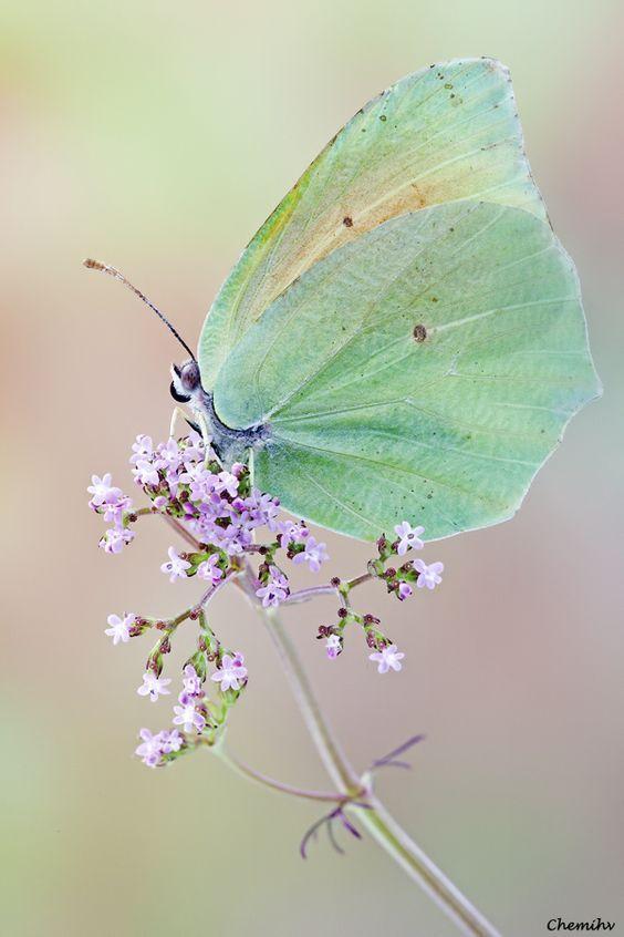 Mariposas / Buttefly