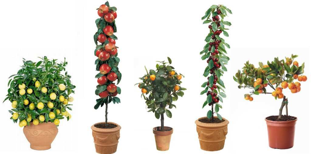 Video c mo plantar rboles frutales revista muy - Plantar arboles frutales en macetas ...