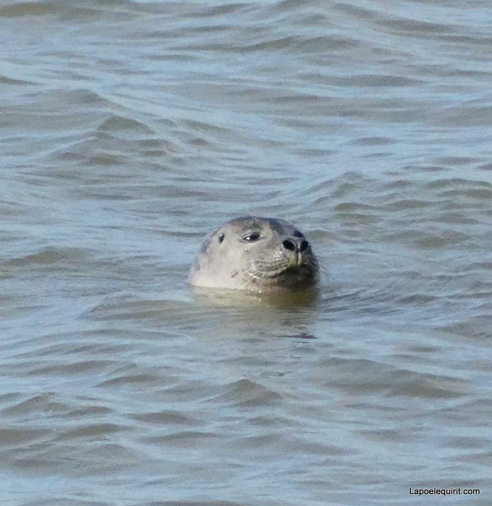 Qui se prélasse dans La Baie de Somme, et oui, le petit phoque !