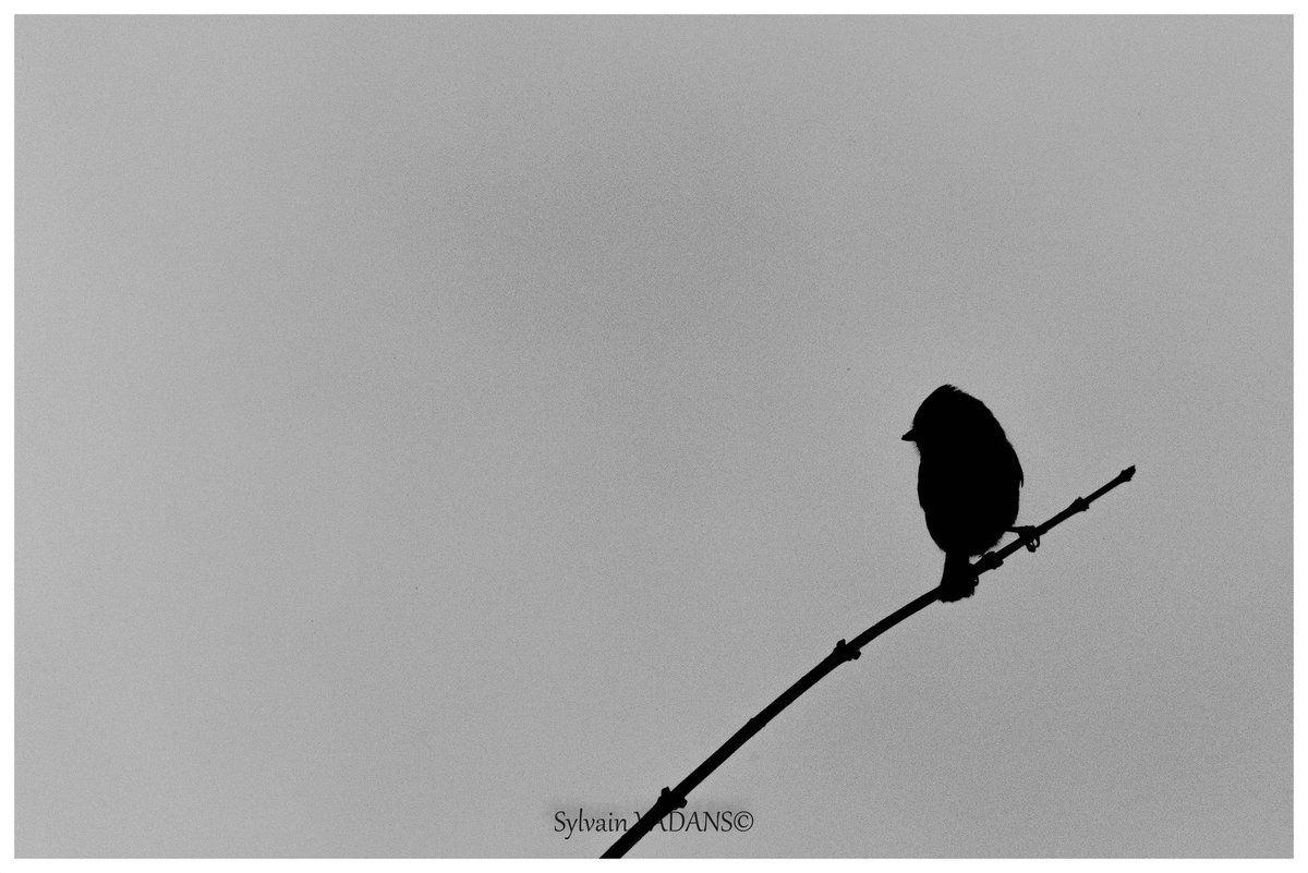 Mésange bleue en noir et blanc Jura2016