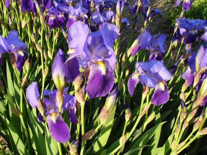 Non loin du Jardin des Paraboles, planche d'Iris