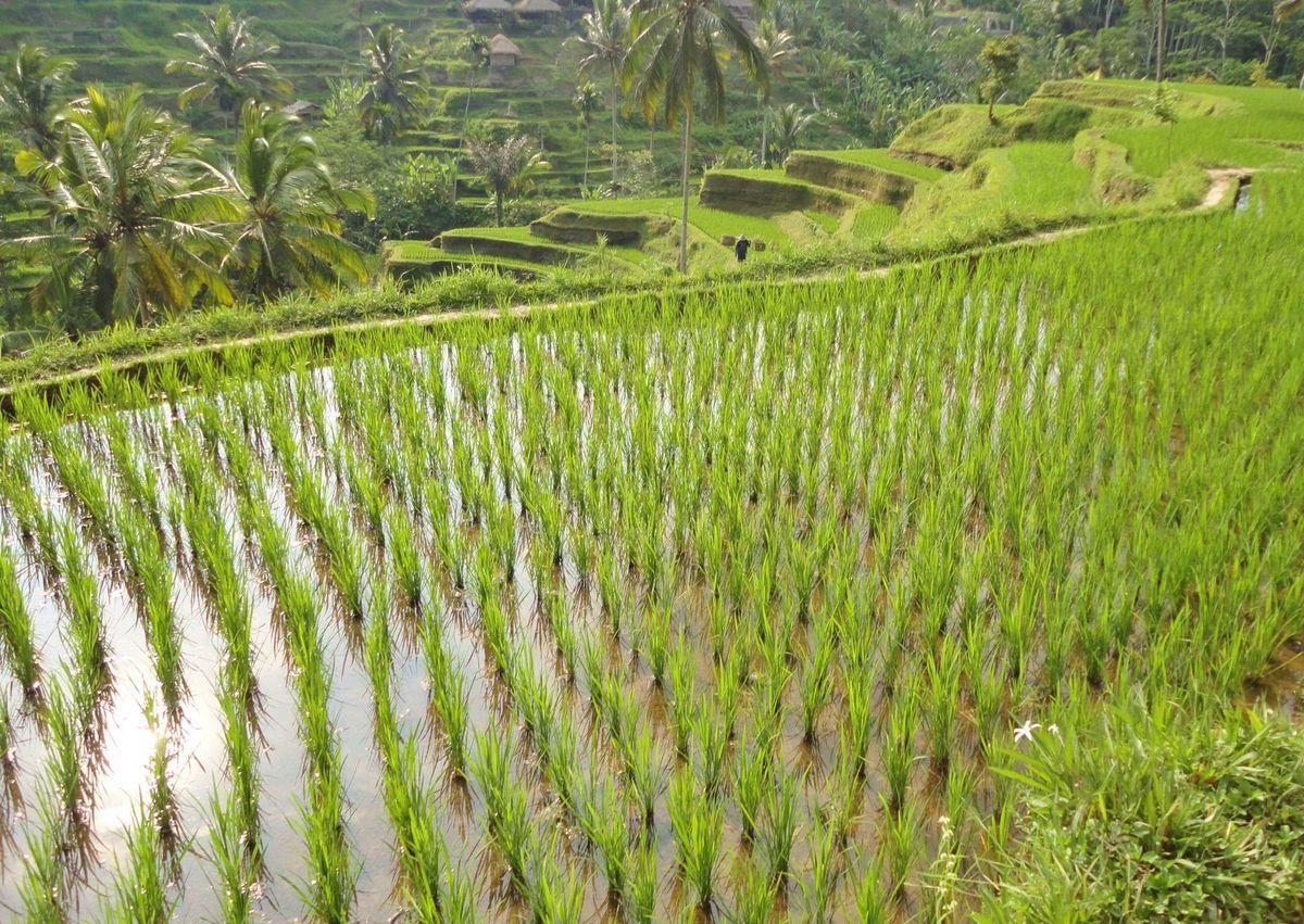 Rizières d'Ubud et de Tagallalang 2012