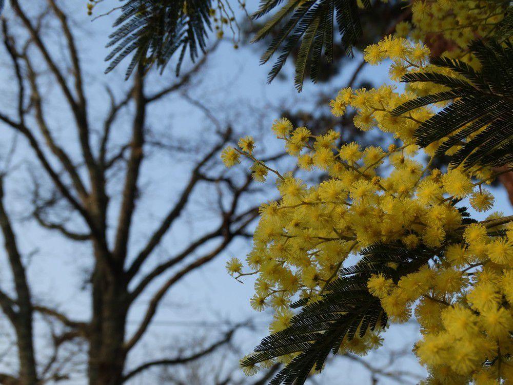 Mimosas en fleurs sur le Bassin d'Arcachon...