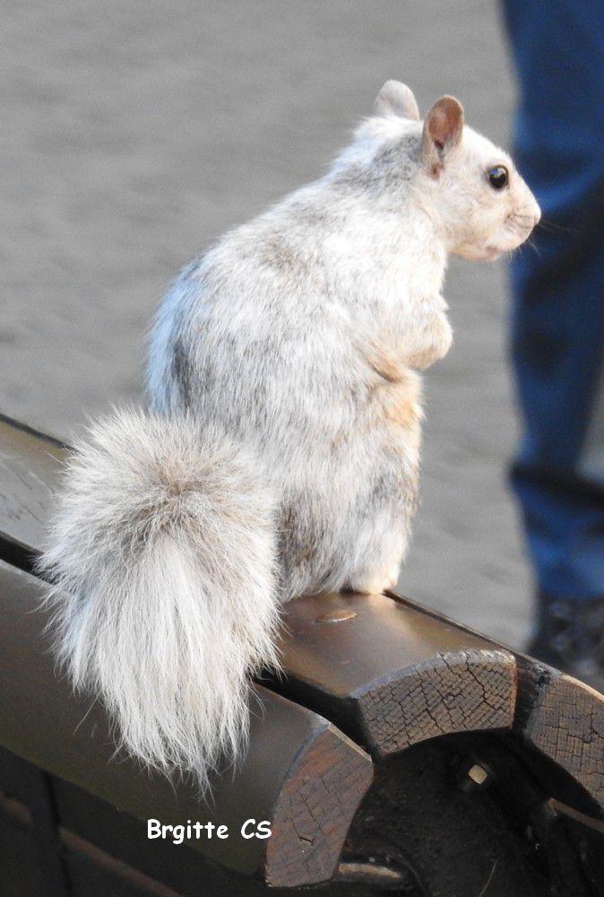 Montréal : l'écureuil blanc...