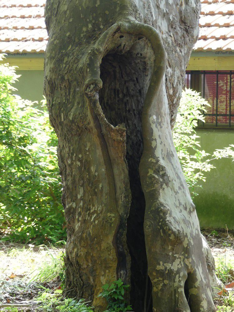 Les cyprès chauves de la Pointe du Vergne à Soustons...