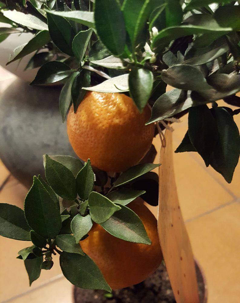 """Variété d'agrumes : citronnier """"Chinotto"""" ou bigaradier..."""