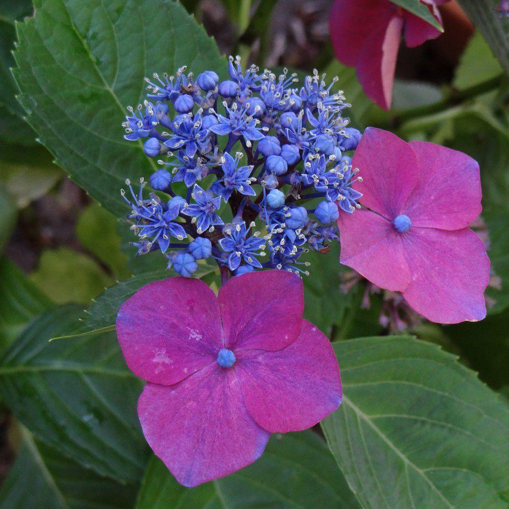 Etoiles bleues d'hortensias...