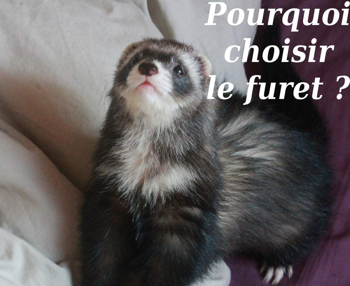 pourquoi le furet comme animal de compagnie ferrets power. Black Bedroom Furniture Sets. Home Design Ideas