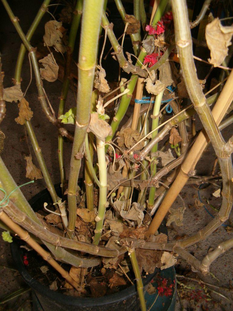 Fin de l 39 hivernage des g raniums g ants nature for Nettoyer feuilles plantes