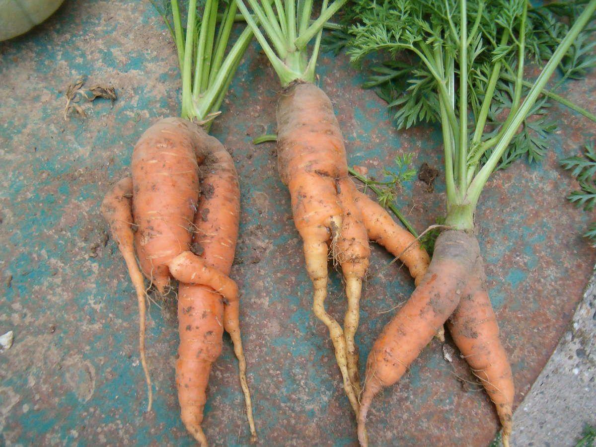 Les carottes difformes sont aussi une réalité dans les jardins, mais elles ne sont pas moins bonnes !