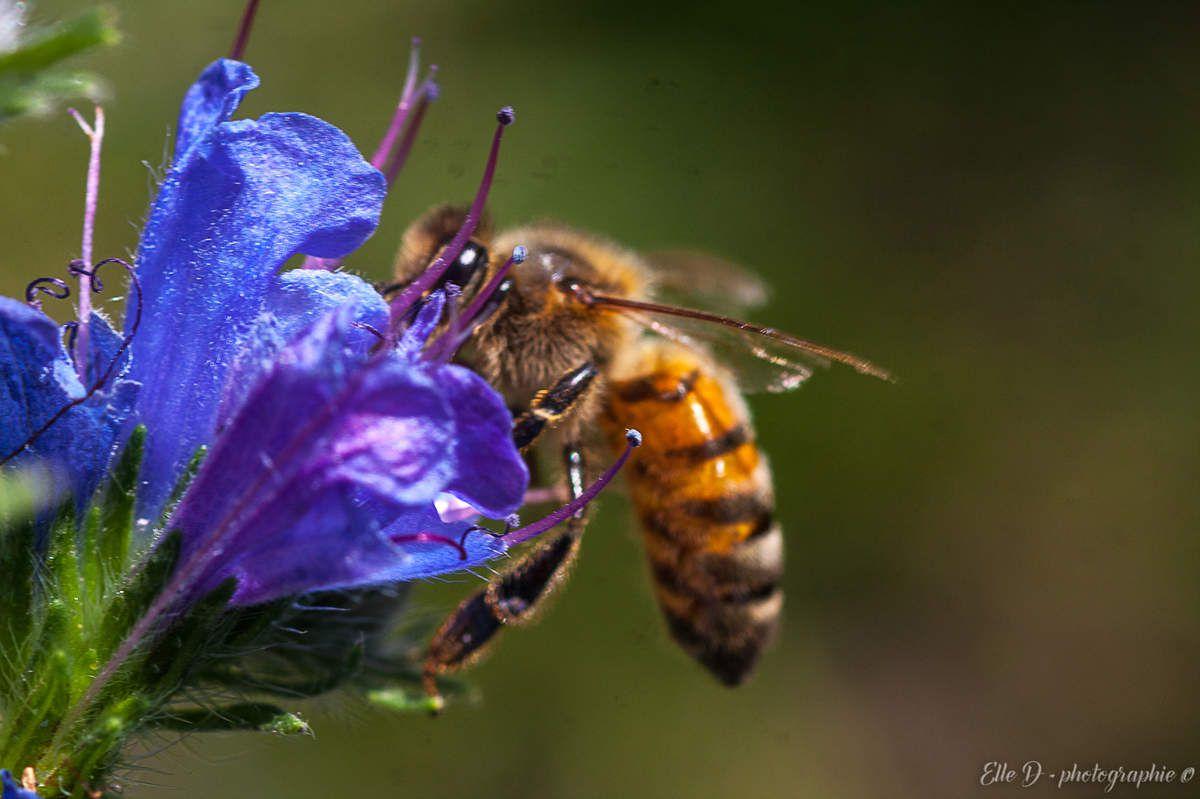 """"""" La douceur du miel ne console pas de la piqûre de l'abeille."""" Proverbe français."""