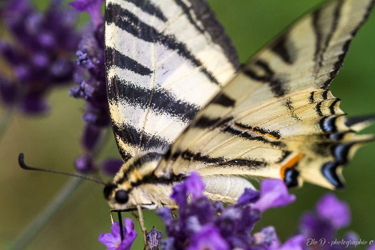le Flambé ou Voilier (Iphiclides podalirius) : le nom commun de ce papillon fait bien sûr référence au graphisme de ses ailes.