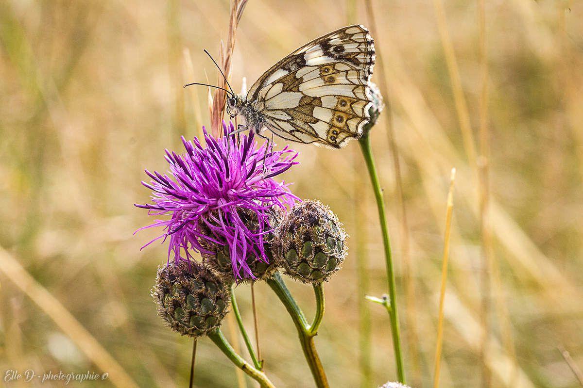 Le Demi-deuil (Melanargia galathea) fréquente les fleurs sauvages du Jura.
